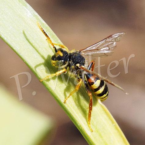 Bild: eine kleine Wespenbiene, Nomada spec.