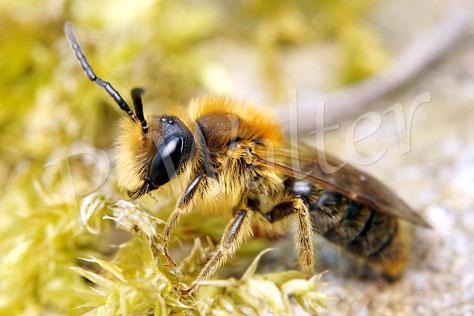 01.05.2017 : Sandbiene, wahrscheinlich ein Männchen der Rotbürstigen Sandbiene