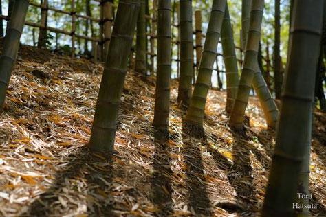 竹の秋、春の竹林には日が燦々と注ぎます