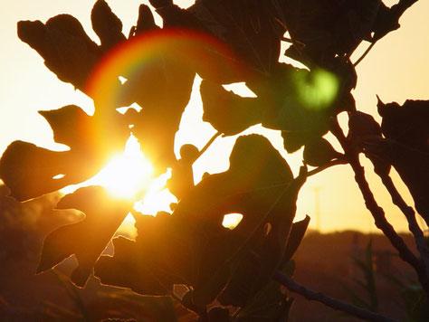Mit Selbsthypnose in der Mitte sein und Ziele erreichen wie dieses Licht einer Sonne die durch ein Feigenblatt leuchtet. Link: Home Seite.