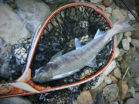 秋山女魚 by Redeye 72R