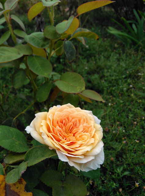 rose English Garden