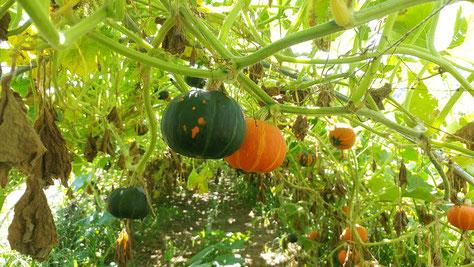 ミモレ農園 農薬不使用 なす ロッサ・ビアンコ