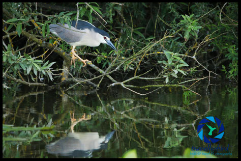 Adult Black-Crowned Night Heron Nycticorax nycticorax