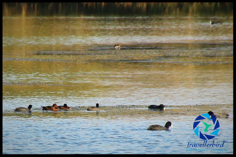 ferruginous duck between coots