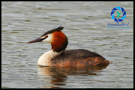 Great crested grebe on a lake