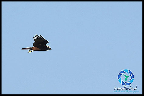 Marsh harrier in the sky