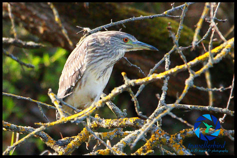 Juvenile Black-crowned night heron Nycticorax nycticorax