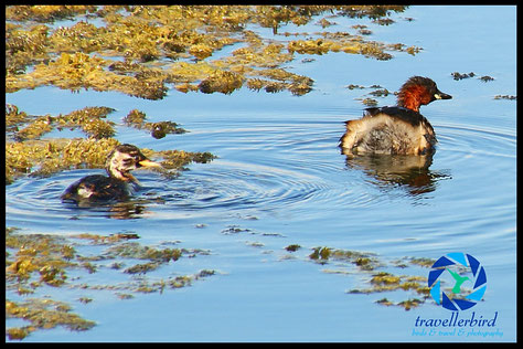 Little grebe with chick