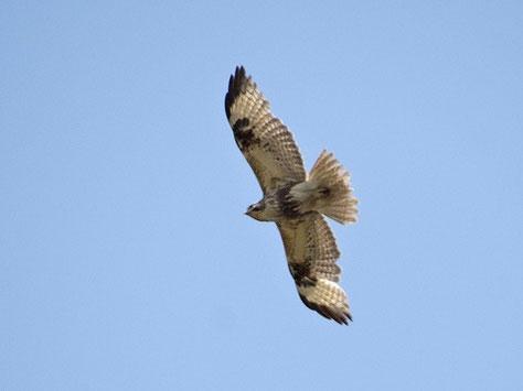 ・2017年4月19日 江川放水路  翼角の黒斑や腹の暗褐色の模様が明瞭な成鳥