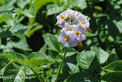 ジャガイモの花・薄紫