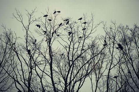 Der Schlafplatz und die Schlafbäume der Krähen muss der Jäger kennen