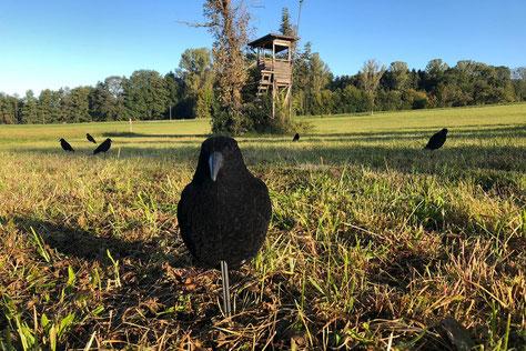 Das perfekte Wetter für die Krähen ist mit Sonne und wenig Hitze.