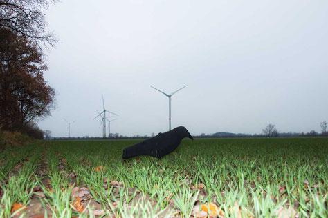 Wind bei der Krähenjagd - Wie fliegen die Krähen das Lockbild an?