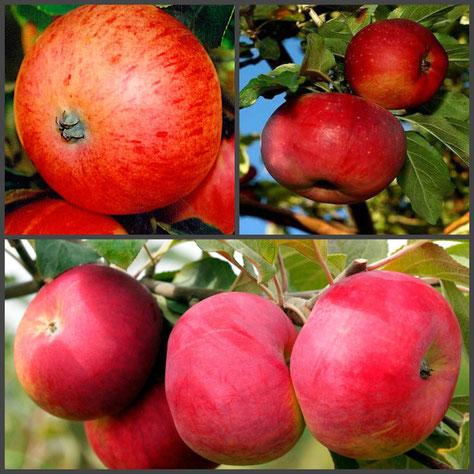 несколько сортов на одной яблоне