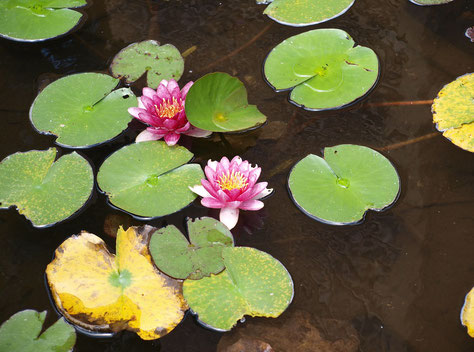 7月13日(2017) 夏の花、睡蓮:ハスは葉や花が水面から立ち上がるのに対して、スイレンは水面に浮かんでいます。少しでも涼しい所にいたいのでしょうか。小平市下水道館の入口で出会いました。