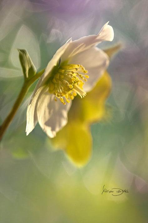 Christrose gelb grüner Hintergrund