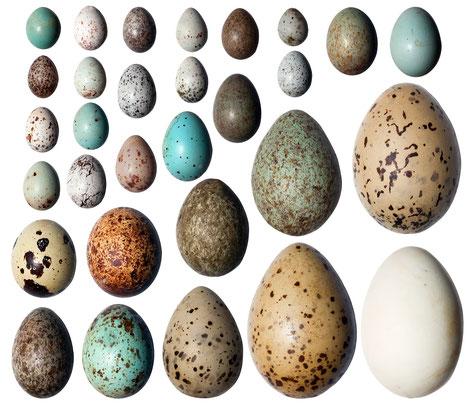 Größen und Formen diverser Vogeleier
