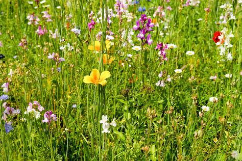 Wildblumenwiese
