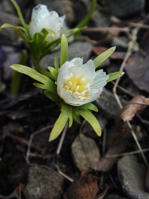 白花のセツブンソウ