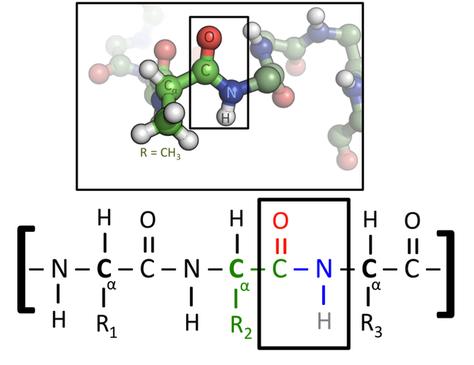Exemple d'une portion de protéine. En haut: atome constitutifs (C,H, O, N et S). En bas : liaison peptidique liant 2 peptides entre eux. Source : wikipédia.