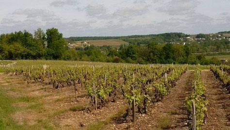 disbudding-workshop-guided-wine-tours-tastings-Loire-Valley-vineyard-Vouvray-Touraine-Tours-Amboise-Rendez-Vous-dans-les-Vignes-Myriam-Fouasse-Robert