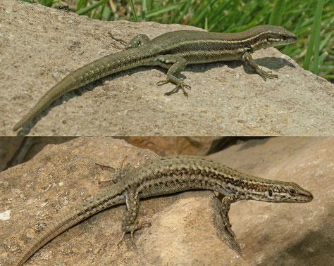 Podarcis liolepis. Hembra (arriba) y macho (abajo). Penyagolosa (Castellón).                    © V. Sancho. 2006