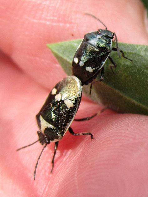 Brassica bugs Eurydema oeracea