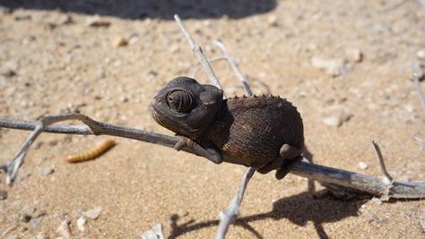namibia - living desert tours - exploring the little five - chameleon in der wüste vor swakopmund