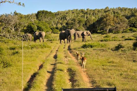 elefanten im sibuya game reserve