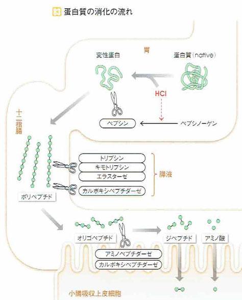 様々な消化液によって、ポリペプチド→オリゴペプチド→ジペプチド→アミノ酸という小さな分子に分解される。