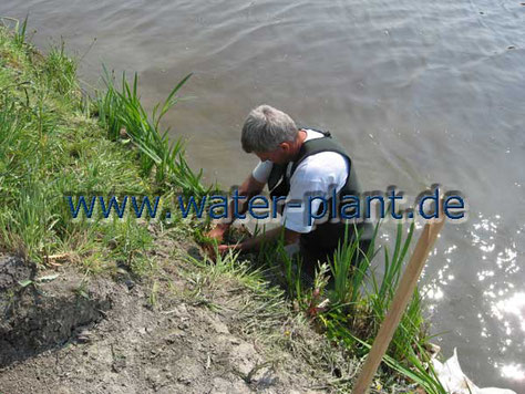 Mit Bisamgitter und Röhrichtwalzen gesichertes Ufer