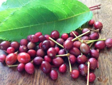 酵素材料: 山桜のサクランボは実が小さいです。