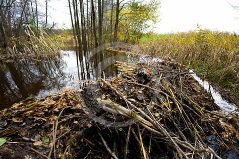 Biber, Konflikte, Schaden, Schadensersatz, Hochwasser, Hochwasserschutz
