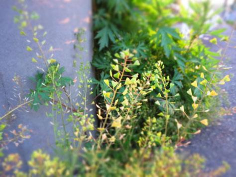 リハーサルの帰り道に見つけたぺんぺん草。アスファルトから逞しく…。小さい頃遊びました。懐かしいな。