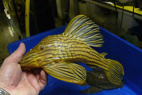 L027, Panaque armbrusteri Tocantins,  wild caught