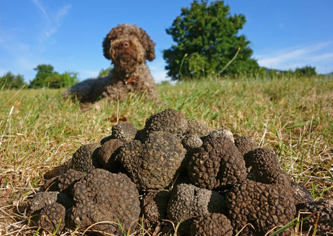 Die Entwicklung des Trüffelmarktes, der Trüffelsuche und der Trüffelplantagen weltweit - Klimawandel verändert die Trüffelsuche und Trüffelernte