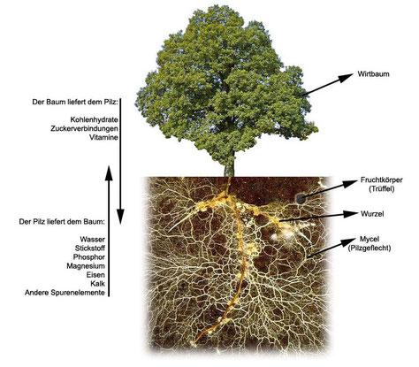 An den Feinwurzeln der Wirtspflanzen gehen Pilz und Baum/Busch eine Verbindung ein - die Mycorrhiza (wollige Pilzfaden-Struktur)
