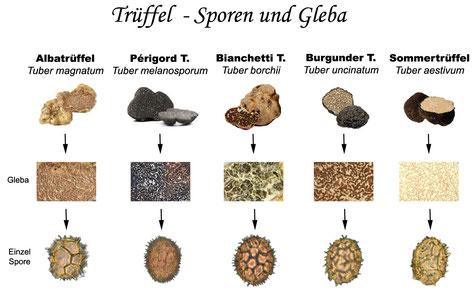Trüffelarten alphapetisch geordnet: Botanischer Name, Weitere Bezeichnungen, Vorkommen, Aussehen, Entdeckungsjahr