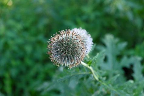 Pflanzen werden als homöopathische Arzneien eingesetzt.