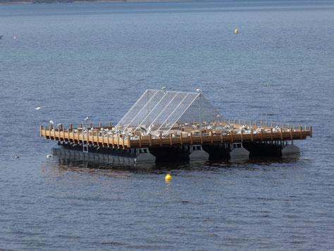 Foto: Das neue Floß mit Zeltdach-Abdeckung und brütenden Lachmöwen (c) A. Gerhold
