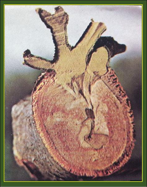 Querschnitt durch Wirts-Ast und Mistel, deutlich erkennbar der Senker im Holzgewebe. Quelle: Kruse/Blume, Das Leben Bd. 2