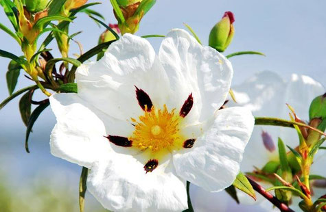 Ciste ladanifère - Cistus ladaniferus
