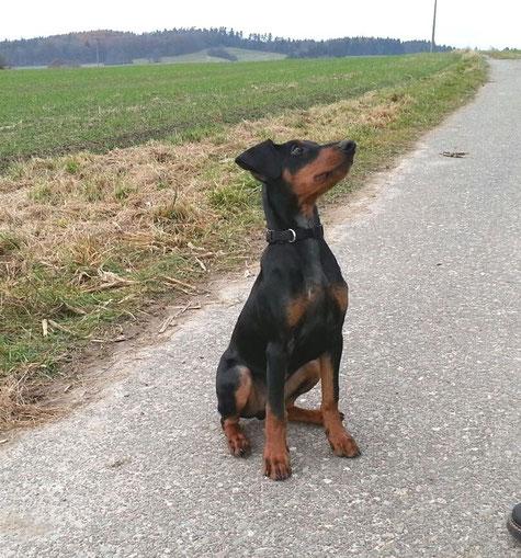 Nov. 2012, Mailo (Felix vom Sylbachtal) 16 Wochen alt ;-))