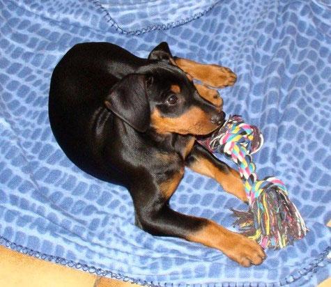 Juri (Fernando vom Sylbachtal) 10 Wochen alt  ;-)