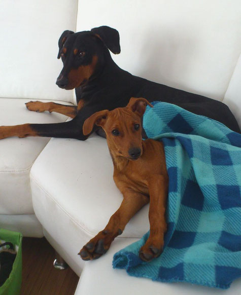 """Nov. 2012, Loki (Cyrano vom Sylbachtal, 17 Monate) und seine neue """"Freundin"""" Lucy, sind ein prima Team ;-))"""