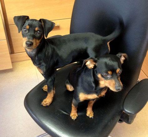 """Frieda und Rufus """"bewachen"""" das Büro  ;-))"""