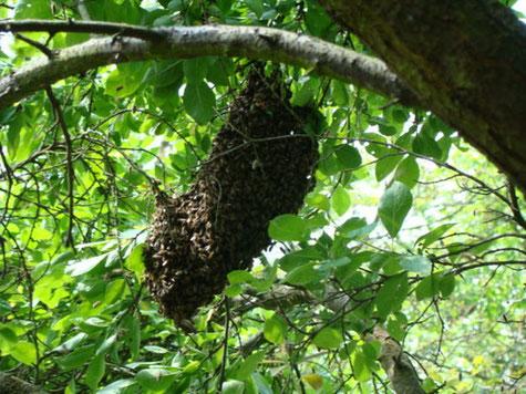 wesensgerecht, Vermehrung, Bienen, Schwarm