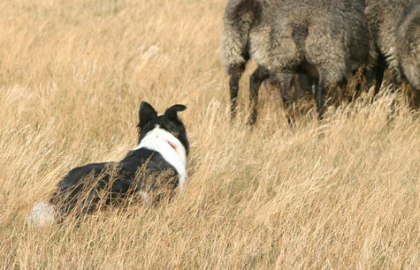 Joe 2012;  Ein Border ist ein Hund, der arbeitet wie ein Border