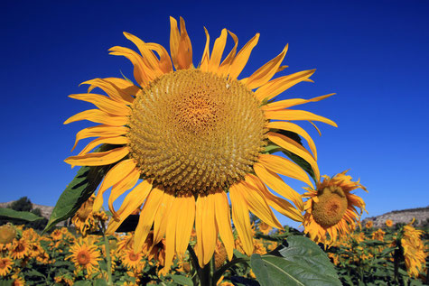A sun flower field in Galera